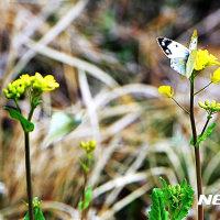 韓国の春と一羽の蝶