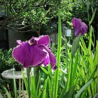 「今日の日記、潮来から引っ越して来た庭のアヤメが咲きました」