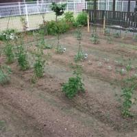 夏野菜が一気に生長