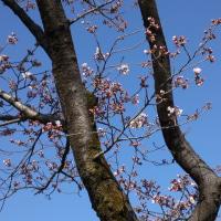ピンク色の、花が咲き始める季節になりました