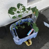 トマトの苗がポッキリ (>_<)