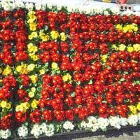 ラナンキュラス展と相模原公園の開花情報