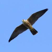 2016.10.20(木)の日誌(秋の鷹渡り#16-12-01:閑散期の鷹の飛翔)