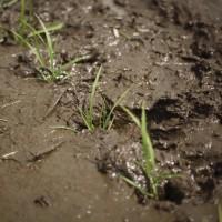 酒米の田植え。
