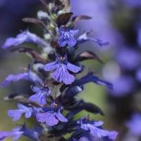 紫紺のアジュガ(西洋十二単)