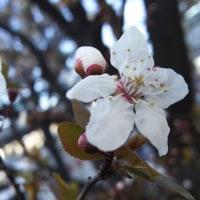 …スモモの花…