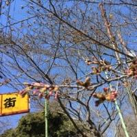 2017年「衣笠さくら祭」衣笠山公園内 ソメイヨシノ開花!