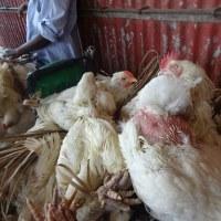 H7N9は100年で最悪の状況だ