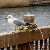 鳥@小名木川、2/27、その3、オオバンとバン