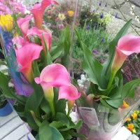 虹の玉、エレモフィラ ニベアのご注文、配送、明日は鶴見西口での販売