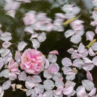 道庁の池に咲く桜