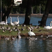 2016年10月16日水戸市の大塚池にオオハクチョウ今季初飛来