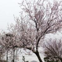 ダイアンサス ピンクキッス & 焼けちゃいました! & サクランボの花