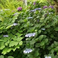 家の周辺に咲くアジサイ(紫陽花)