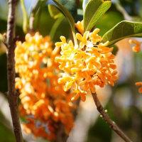 金木犀(キンモクセイ)が咲く季節‥②