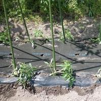 トマトの定植。
