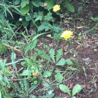 オサンポ walk - タンポポ似 they look like dandelion