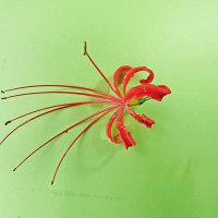 [#3436] ヒガンバナ(3)小花の全体像