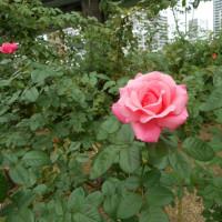 フランスのシンプルなピンクのバラ