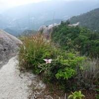 大崩山のササユリ
