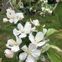 富士リンゴの花が咲いています!