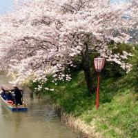 お花見。。。近江八幡&彦根城☆