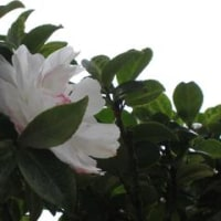 山茶花、椿の季節になってきました。