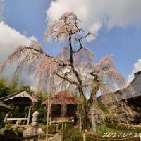 今年の桜は短命! 西村大師堂から