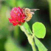 ●河北潟干拓地でモンキチョウのカップル ミツバチ クリムソンクローバー畑  キジバト