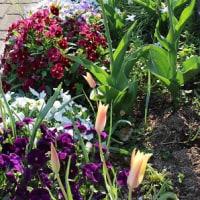 庭のチューリップが咲く