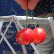 さくらんぼ摘み & さくらんぼのパフェ@王将果樹園 天童
