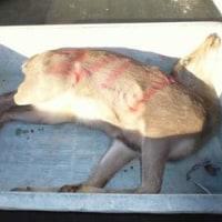 2月19日有害鳥獣捕獲「鹿1頭 猪1頭」