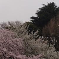 お花見@新宿御苑