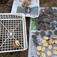 春待てず、馬鈴薯植える