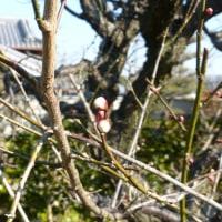 庭の梅がまだつぼみかたし、なぜだろう。