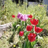 チューリップ、絶賛開花中♪