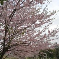 櫻櫻 そして、桜  @西条