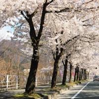 桜色ドライブ。