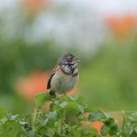 北海道野鳥旅・網走(6月28日)