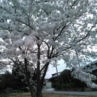 なぜこんなに桜に心躍るのか?!
