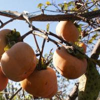 今日は 「柿の日」