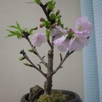 嬉しいうれしい 桜咲く♡