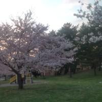 滞在型家庭菜園:袖ヶ浦西公園で花見