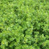 コメツブツメクサ:畑の雑草