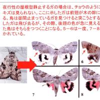 1.チョウやガの翅に残る鳥の嘴によってできた傷から何がわかるか?その8および結論