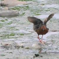 久しぶりに大川で野鳥探索♪(6月20日)