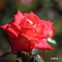 秋バラ その13