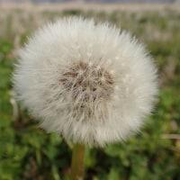 田圃の植物:セイヨウタンポポの綿毛はたくさんつけています。