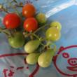 トマト中途半端収穫