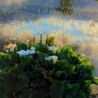 カラーの花が咲く田んぼ